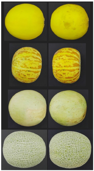 Developing a postharvest color changes identification system of melon rind using image processing