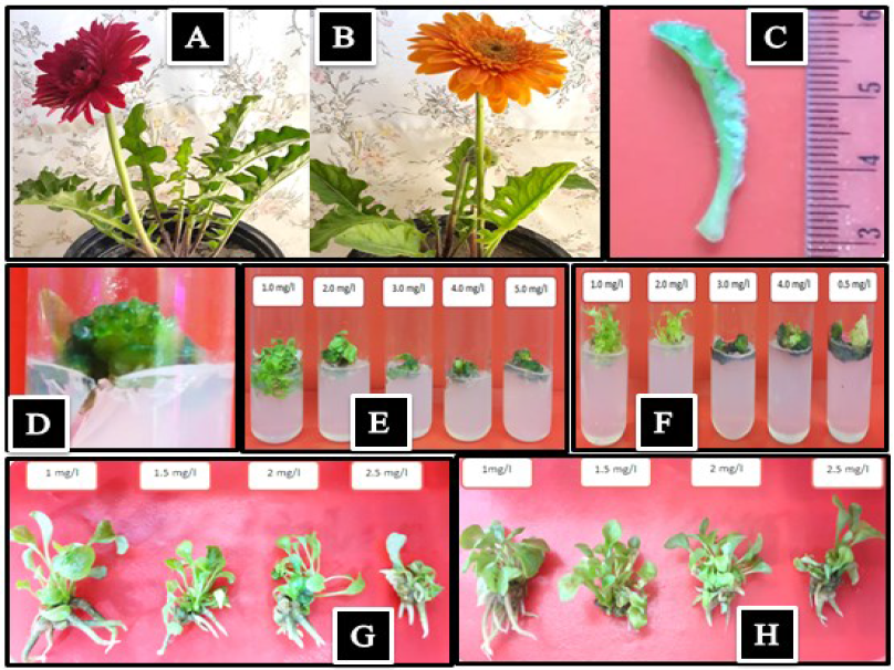Adventitious shoot proliferation from callus of Gerbera jamesonii young leaf explant